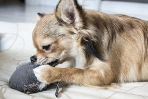 dog chewing paws remedy