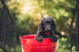 Stop puppy from eating poop