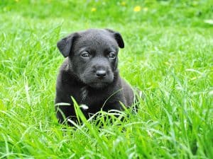 """I can't remember the number of times I have been asked the question """"How do I stop my puppy from eating poop?"""" Don't lose sleep over this annoying puppy problem it can be common in puppies and even adult dogs. Your initial reaction will be of disgust and stress and worry, asking yourself what kind of dog have I got? However, in the article below I am going to enlighten you with the reasons why your puppy is eating poop and how to stop this nasty habit quickly and naturally. As an expert in dog behavior problems I have, over many years, learned that just like you and I your dog will change as they age and not only can they start eating poop but may start up other quirky, worrying and stressful habits. That is why I have put together what is considered the Dog Bible which covers all strange dog behavior and is an absolute must to dog owners just like you. Therefore, please take a single minute of your time to have a free look at this download now. I will not be asking for your contact details, I don't have to. Just have a look and make your own informed decision. The guide has been downloaded thousands of times and stays with you and your puppy forever being a handy reference for you to refer to saving money on expensive vet bills. How would you like that? Do you want a happy, healthy and obedient puppy? Of course, you do. Just go over and download it now while it is still available and become a proud and content dog owner just like many thousands before you. The full article. One of the biggest challenge dog owners have to deal with is dog eating poop. Puppies are adorable, but the sight of him snacking on his poop isn't exactly exciting. It is a problem that you have to deal with and curb. This is because not only is the habit undesirable but it could also transmit illnesses to your pup. In this article, we are going to focus on the reasons and how to stop puppy from eating poop. Reasons why your puppy is eating poop There are several reasons why puppies start eatin"""