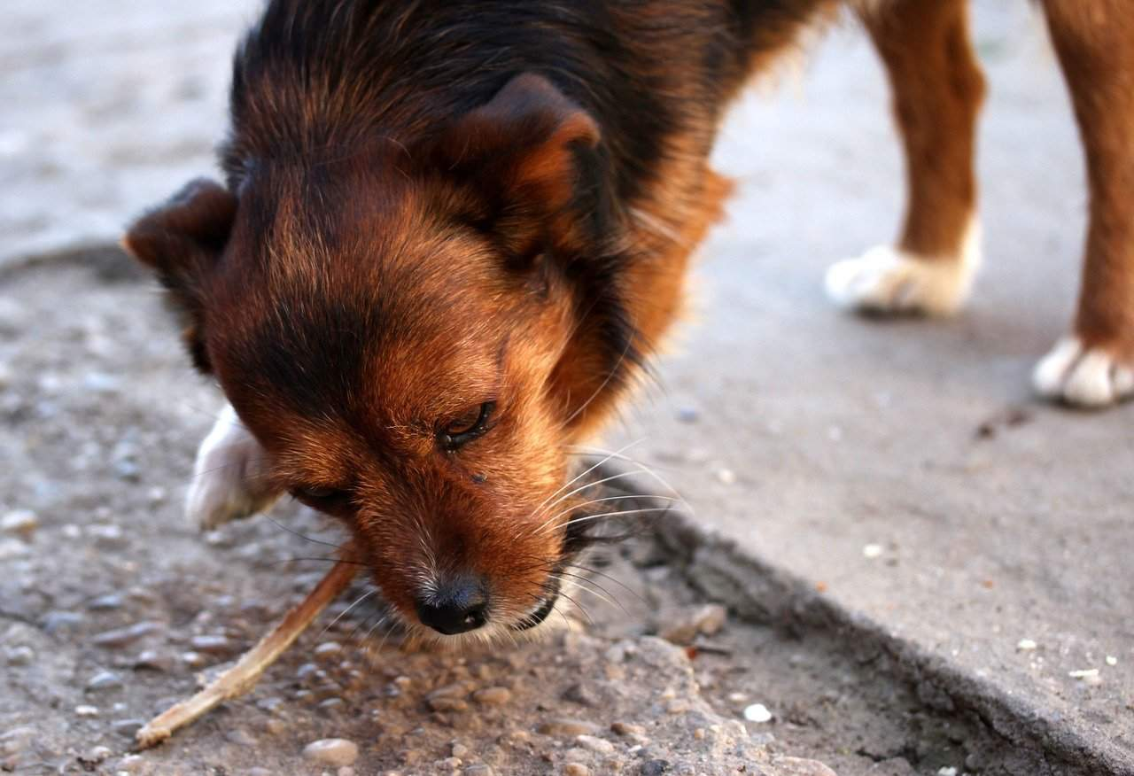 Dog Eating Poop Side Effects