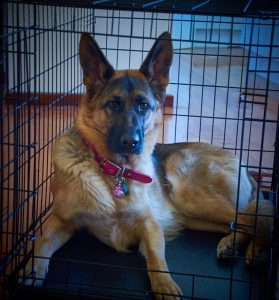 How to house train a puppy German shepherd