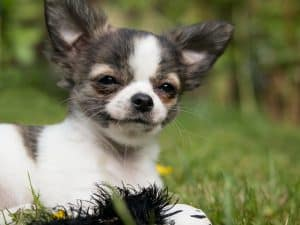 Potty Training a Chihuahua Puppy