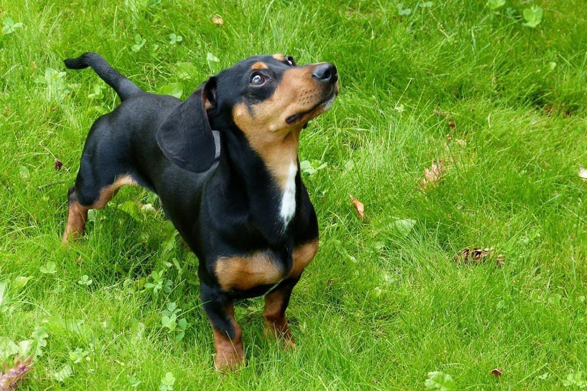 dog eating grass frantically