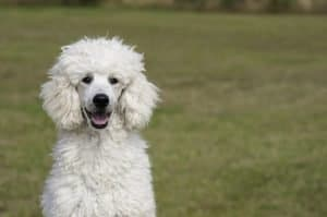 How to Train A Poodle Not To Bark