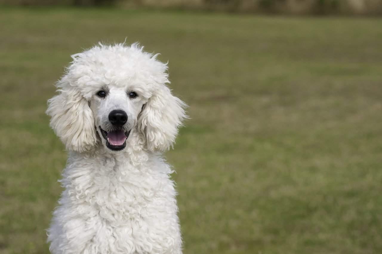 How to Potty Train A Poodle