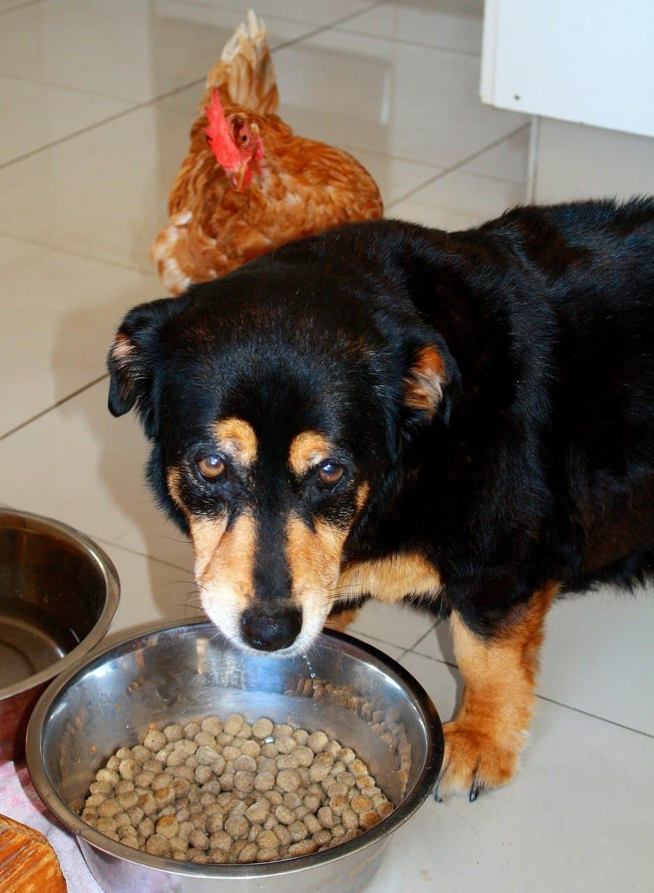 Old Dog Suddenly Food-Obsessed