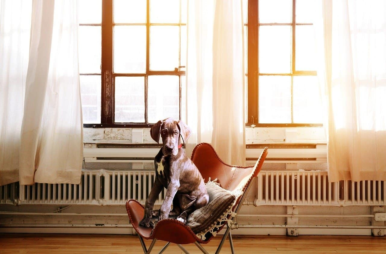How to Keep Great Dane Off Furniture