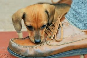 Why Does My Dog Steal My Shoes